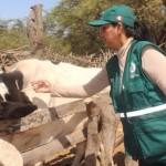 Senasa Vacunará a 82 Mil Cabezas de Ganado en Lambayeque