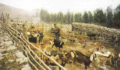 crianza-caprinos-valle chillón