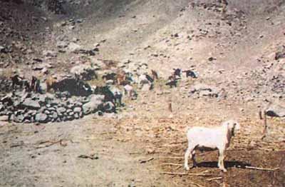 crianza-caprinos-valle de cañete