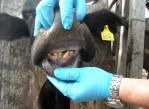 dentición_definitiva_en_los_bovinos