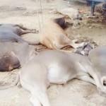 Intoxicación por «Pollinaza» Genera Alta Mortandad en Bovinos en México