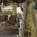 La Maralfalfa reduce los Costos de Producción de Leche de Cabra en España