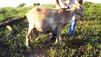 mejoramiento-reproducción-caprinos