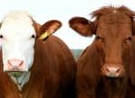mutaciones_geneticas_en_bovinos
