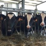Investigadores Brasileros Desarrollan un Tipo de Leche de Vaca Más Saludable