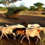 La FAO en la Ganadería y el Medio Ambiente