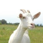 España: Segunda Potencia Europea en Producción de Leche de Cabra