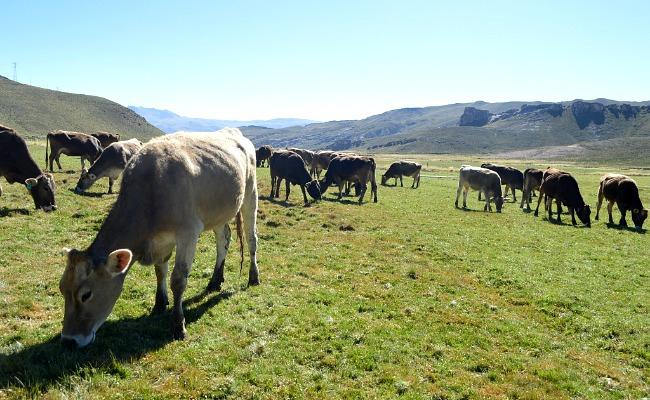 Vacas_Brown_Swisss_La_Pulpera