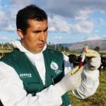 Senasa Realiza Trabajos de Monitoreo de Brucelosis Bovina en Cajamarca