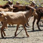Estudian Potencial Genético de Cabras Ferales en BCS