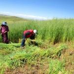 Garantizan Oferta Forrajera con la Producción de Heno y Ensilado en el Cusco