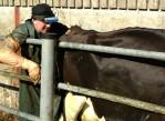 semen_sexado_en_vacas