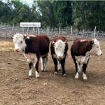 Chile: Proyecto Busca Mejorar Ganado Criollo con Toros Hereford