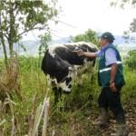 Senasa Vacuna Bovinos contra Fiebre Aftosa en Provincia Cajamarquina de San Ignacio