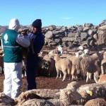 Inmunizan a Ovinos contra la Equinococosis Quística con Vacuna EG95 en Huancavelica