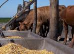 autoconsumo de granos reduce costos