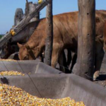 Argentina: Autoconsumo de Granos Reduce Costos Operativos en Sistemas de Producción de Carne
