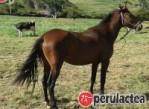 caballo peruano de paso123