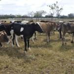 Ganaderos Lecheros de Panamá Buscan Elevar su Producción Nacional
