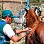 Senasa: Realiza Control Sanitario en el II Concurso de Caballos de Paso en Caraz