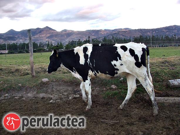 venta_de_ganado_en_cajamarca_12