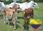 ganado-colombiano