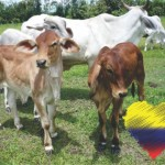 Gran Bretaña Invierte 15 Millones de Libras en Ganadería Sostenible en Colombia