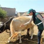 Vacunarán a 80,000 Cabezas de Ganado Contra el Ántrax en Lambayeque