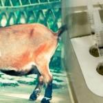 Experimentan con Aceite de Orégano en Ganadería para Reducir Metano