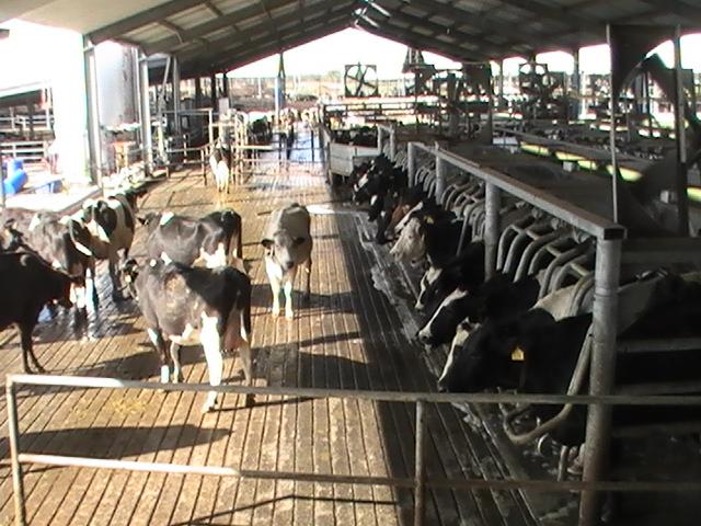 vacas_fao_antimicrobianos