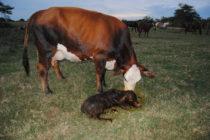 Impacto Económico del Control de Mortalidad entre la Preñez y el Destete en Ganado de Carne
