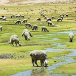 El 60% de la Producción de Fibra de Alpaca Carece de Calidad