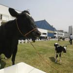 Perú y Nueva Zelanda Lanzan Proyecto Para Impulsar Sector Lácteo en la Sierra