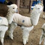 Destinan s/ 9 millones Para Recuperar Calidad Genética de Alpacas de Puno y Ayacucho