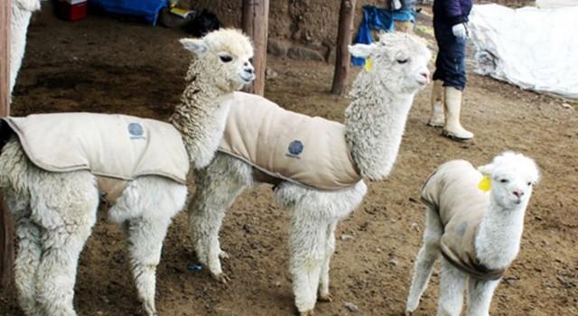 alpacas_mejoradas_puno_ayacucho