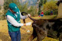 Senasa Realiza Monitoreo Serológico de Brucelosis Bovina en Ancash