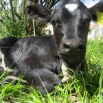 Nació la Primera Ternera Obtenida por Fecundación in Vitro
