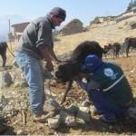 Ayacucho: Senasa Realiza Monitoreo Serológico en Bovinos