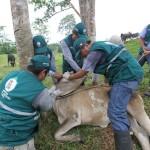 Senasa Realiza Monitoreo Preventivo en Ganado Vacuno para Detección de Brucelosis Bovina en San Martín