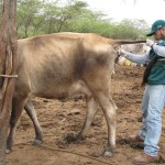 Senasa Realiza Monitoreo Preventivo de Tuberculosis Bovina en la Región de Tumbes