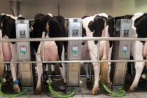 Aragón, en Busca de las Vacas con las Tetas Más Productivas