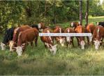 biotecnologias_vacas