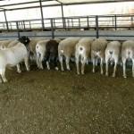 Colombia y Perú Buscan un Plan de Mejoramiento Ovino