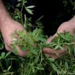 Detectan Semillas Transgénicas de Alfalfa en Argentina