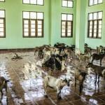 Frenar la Resistencia a los Antimicrobianos en las Explotaciones Ganaderas Requiere un Gran Esfuerzo de Investigación