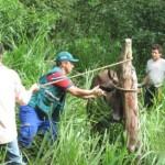 Senasa Inicia Última Fase de Vacunación Contra Fiebre Aftosa en Piura