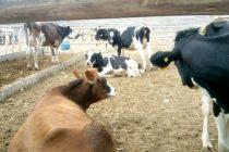 Establo Lechero en la Zona de Supe- Barranca Pone a la Venta 29 Cabezas de Terneras, Vaquillas y Vaquillonas