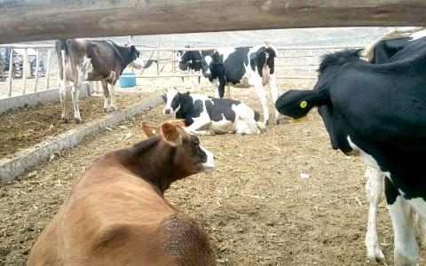 venta-de-vacas_1