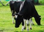 alimentacion_vacas