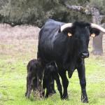 """Un Parto con """"Gemelos bovinos"""" de Distintos Padres"""